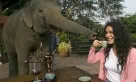 دانه قهوه کنیا فیلی