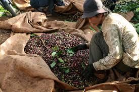 فروش بهترین دانه قهوه ویتنام