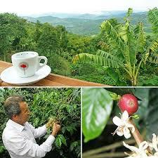 توزیع دانه قهوه مرغوب کاستاریکا