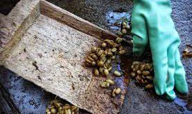توزیع مستقیم دانه قهوه کوپی لواک (Kopi Luwak)