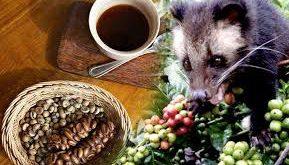 عرضه دانه قهوه کوپی لواک (Kopi Luwak)