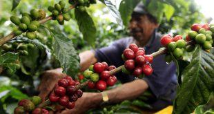 توزیع دانه قهوه باکیفیت ویتنام
