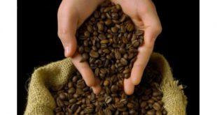 توزیع بهترین دانه قهوه اندونزی