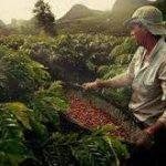فروش انواع دانه قهوه کشور اندونزی
