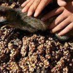 عرضه مستقیم دانه قهوه کوپی لواک (Kopi Luwak)