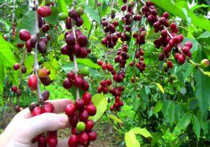 نرخ روز قهوه یمن