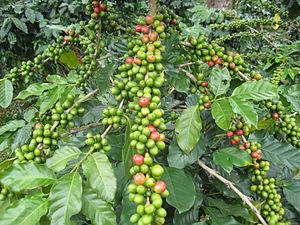 پخش قهوه سبز