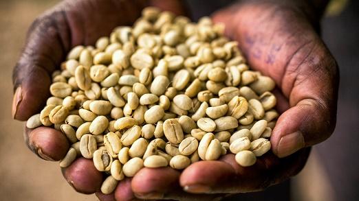 پخش دانه قهوه اتیوپی