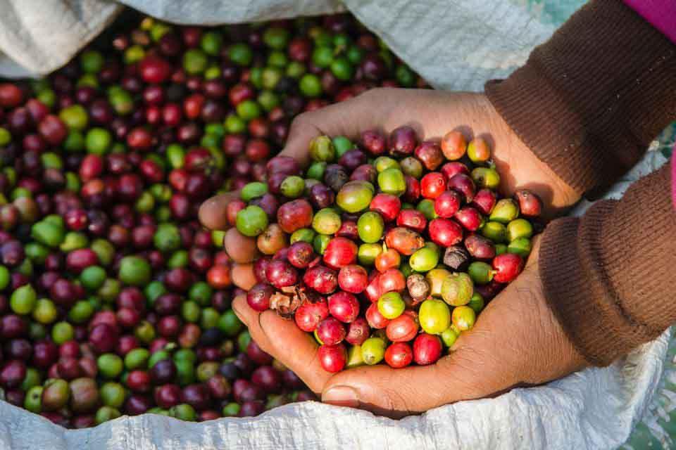 تولید عمده قهوه در مکزیک