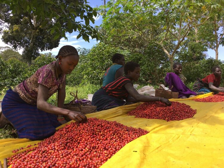 عرضه انواع قهوه اتیوپی