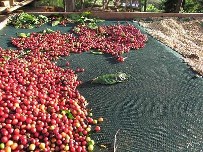 دان قهوه هندوراس