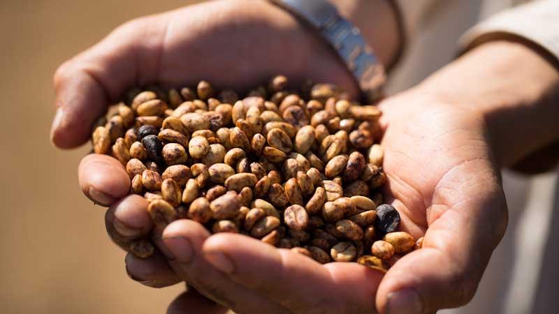 تولید عمده قهوه سالوادور