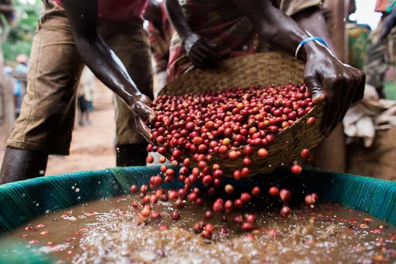 خصوصیات قهوه اوگاندا روبوستا