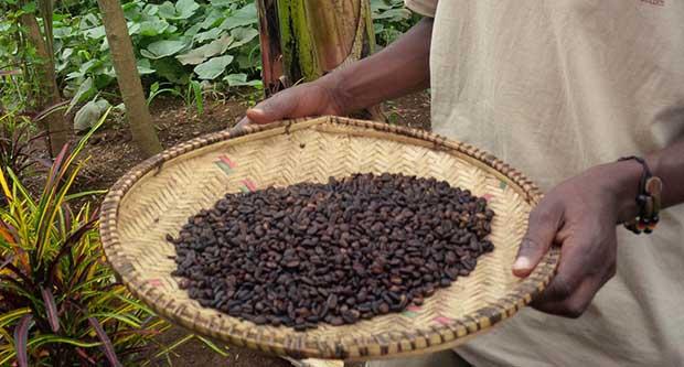 ویژگی ها و مزیت های قهوه کنگو روبوستا