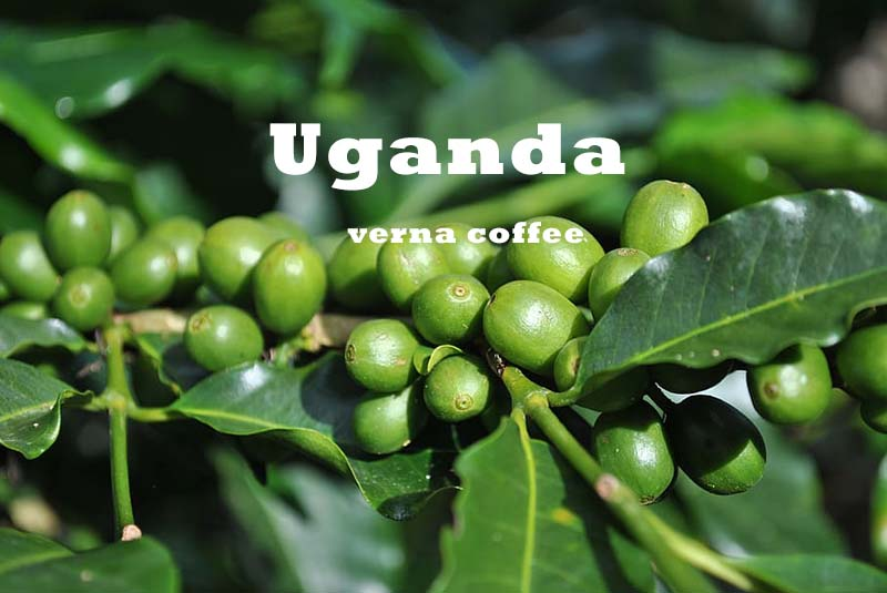 قهوه اوگاندا روبوستا